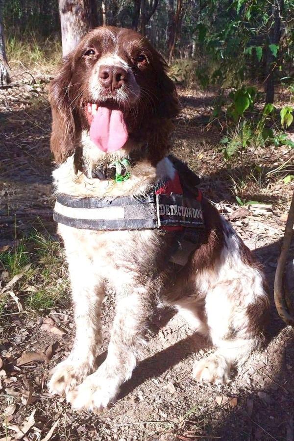 Taz - Koala & threatened species detection dog - OWAD Environment's professionally bred English Springer Spaniel